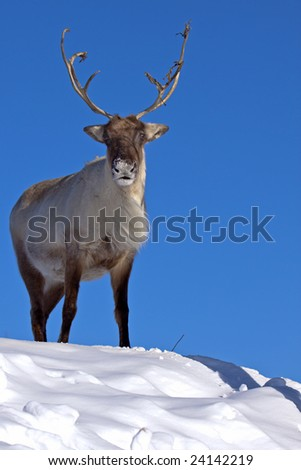 A reindeer atop the mountain