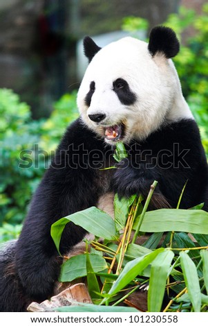 A relax Panda is enjoying his life eating bamboo leaves - stock photo