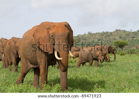 A relaxed herd of african elephants walking side by side through the green grass in Tarangire National Park