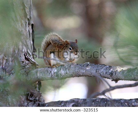 A relaxing Pine Squirrel