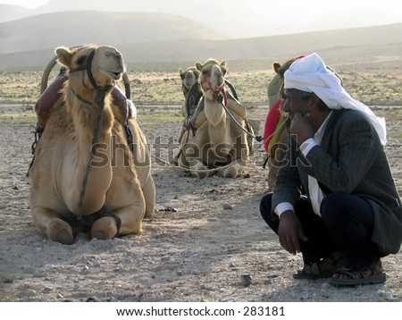 a resting bedouin  by his camels - stock photo