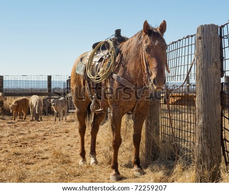 A Resting Quarter horse at roundup - stock photo