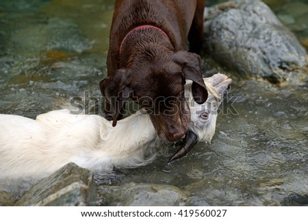 A retriever drowns a young feral goat in the river