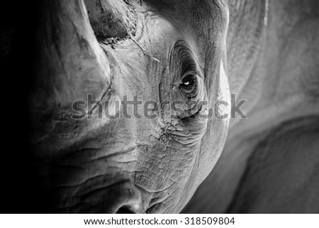 A Rhino Ready to Charge - stock photo