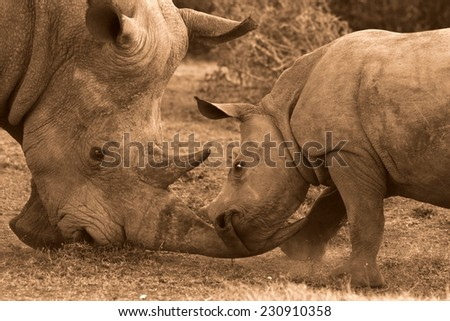 A rhinoceros and her baby play as she teaches him to use his horn in fighting and to show affection while playing. - stock photo