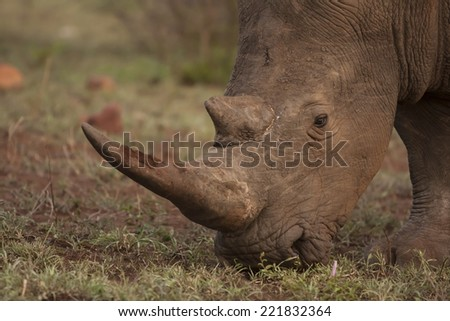A Rhinoceros grazes in a national park in South Africa - stock photo