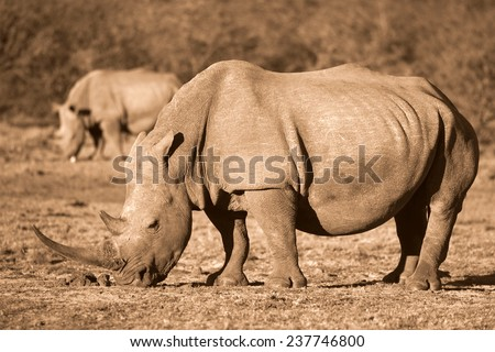 A rhinoceros / rhino grazing with another blurred behind him. - stock photo