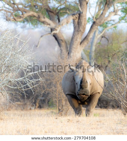 A rhinoceros takes the alert stance and is ready to charge if he suspects danger. - stock photo