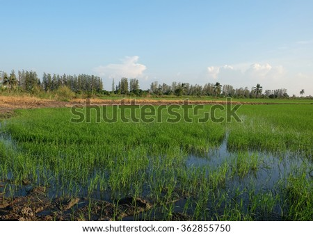 a rice field in raining season