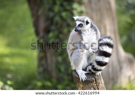 A ring-tailed lemur, Lemur catta, sitting on a log and looking around - stock photo
