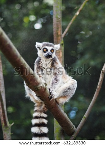 A Ring-tailed Lemur sitting on a branch.