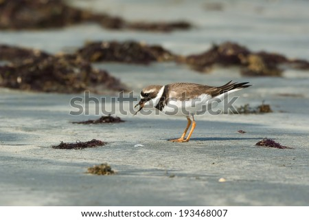 A Ringed Plover (Charadrius hiaticula) eating a worm pulled up from the sand