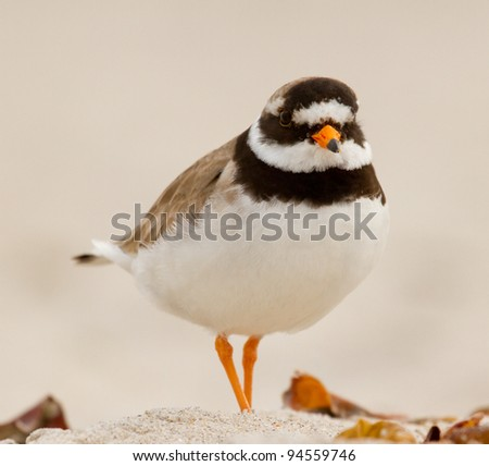 A ringed plover walking on the beach - stock photo