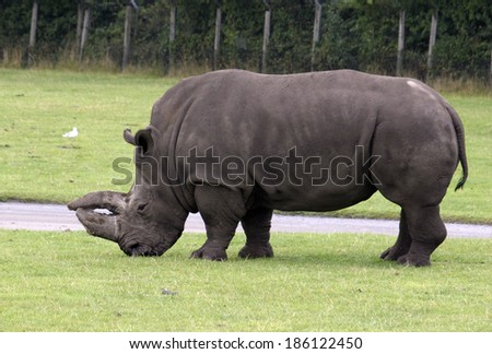 A rinoceros standing in the field in a safari-zoo