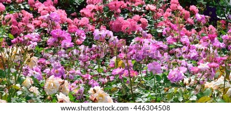 A riot of Roses. - stock photo