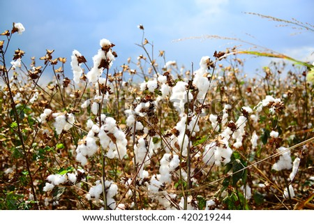 A ripe cotton field ready for a harvest.