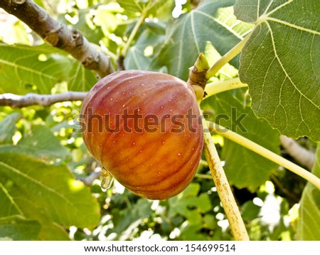 A ripe fig on a branch - stock photo