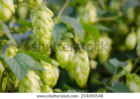 a ripe green hops - stock photo