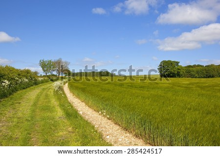 a ripening barley crop beside a country footpath and bridleway in the yorkshire wolds england under a blue sky in summer