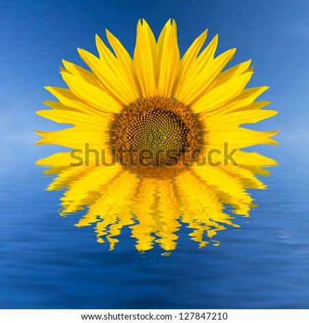 a rising sunflower - stock photo