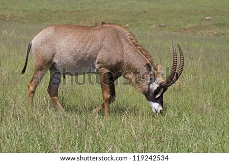 A Roan antelope grazing in green grassland; Hippotragus equinus