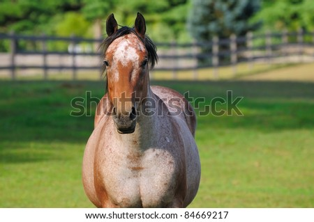 A roan horse in a pasture contemplates the viewer - stock photo