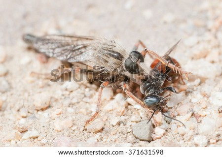 A robber fly eating its prey in the mojave desert.