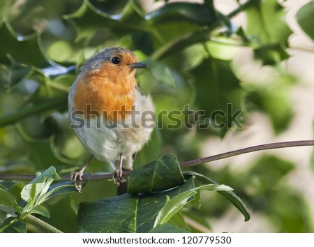 A robin on a stem looking at the camera with a natural green background of holly. Latin name Erithacus rubecula. - stock photo