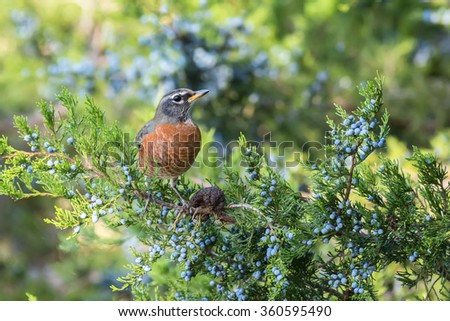 A robin perched in a cedar tree. The bird is standing next to a fungus called cedar apple rust. - stock photo