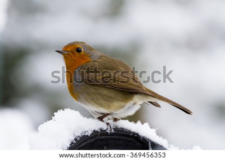 A Robin perched in the snow.