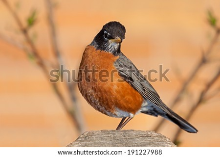 A robin sits on a cedar fence post framed by the branches of a leafing out tree. Head tilted and its beautiful orange breast in full display, the robin searches the area for food. - stock photo