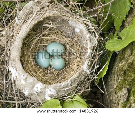 A robins nest with three unhatched eggs.