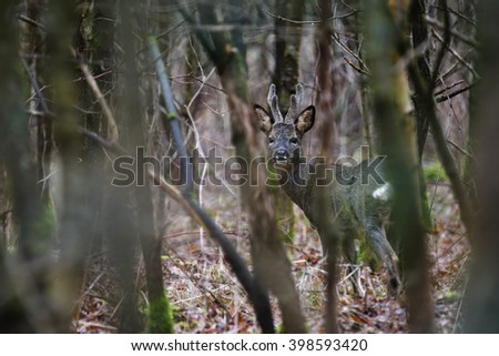 A roe deer buck pauses briefly and looks towards me before continuing through the leafless forest. Their thick winter coats keep them warm in winter. - stock photo