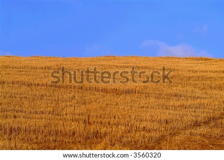 a roomy cornfield in the tuscany and blue sky - stock photo