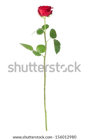 a rose isolated before white background - stock photo