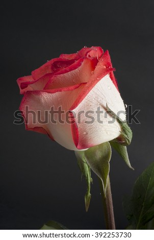 A rose with blushing pink peach colored petals blooms isolated a dark black background. - stock photo