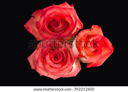 A rose with blushing pink peach colored petals blooms isolated against a dark black background. - stock photo