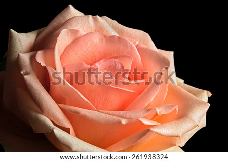 A rose with pastel peach and pink tones is photographed close against a black background. - stock photo