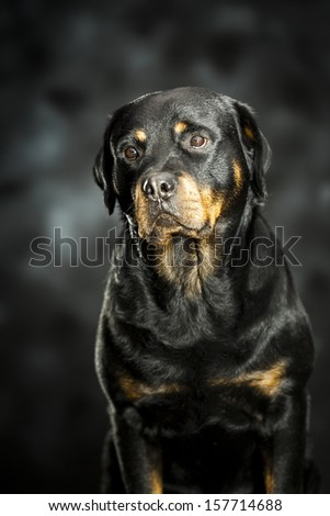 a rottweiler, a friendly big dog - stock photo