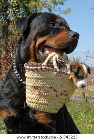 a rottweiler carrying a very young puppy jack russel terrier in a basket - stock photo