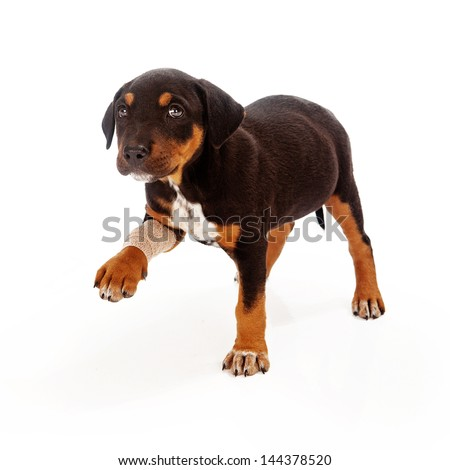 A Rottweiler mixed breed puppy with an injured leg extending his paw and looking at the camera with a sad face - stock photo