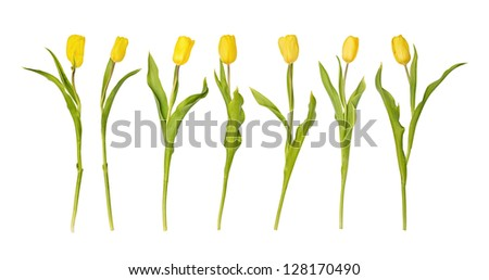 A row from seven yellow tulips isolated on a white background - stock photo