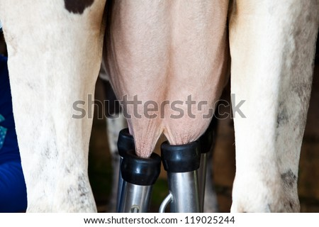 a row of cows being milked - stock photo