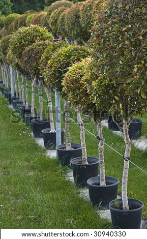 A row of pots with neatly cut tree seedlings