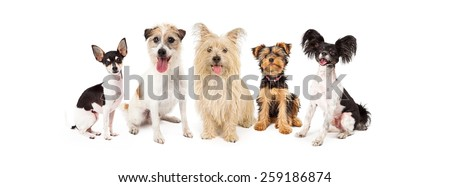A row of six small breed dogs sitting together - stock photo