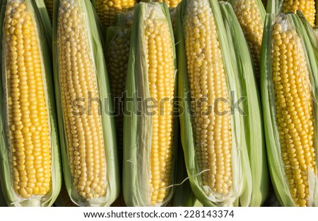 A row of sweetcorn, in display at a greengrocer's shop