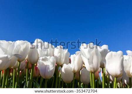 A row of white tulip flowers creating a wall against a clear blue sky background. - stock photo