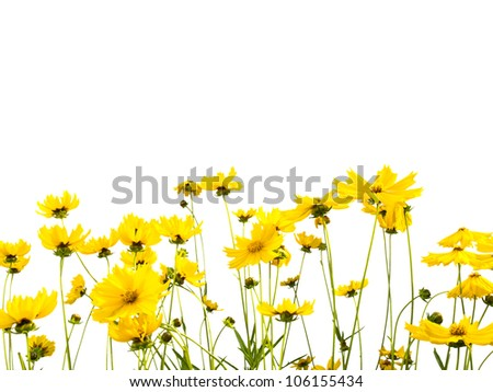 A  row of yellow daisies in a garden on a white background.