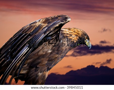 A royal eagle against the sunset