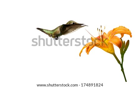 A  ruby throated hummingbird (archilochus colubris) approaching a pretty orange day lily, isolated on white.  - stock photo